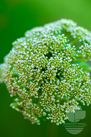 Queen Ann Lace